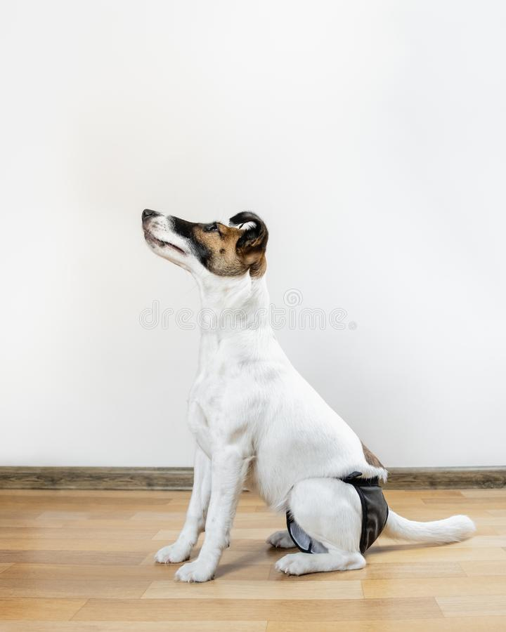 Cute intelligent puppy in washable diaper sits on the floor stock photo