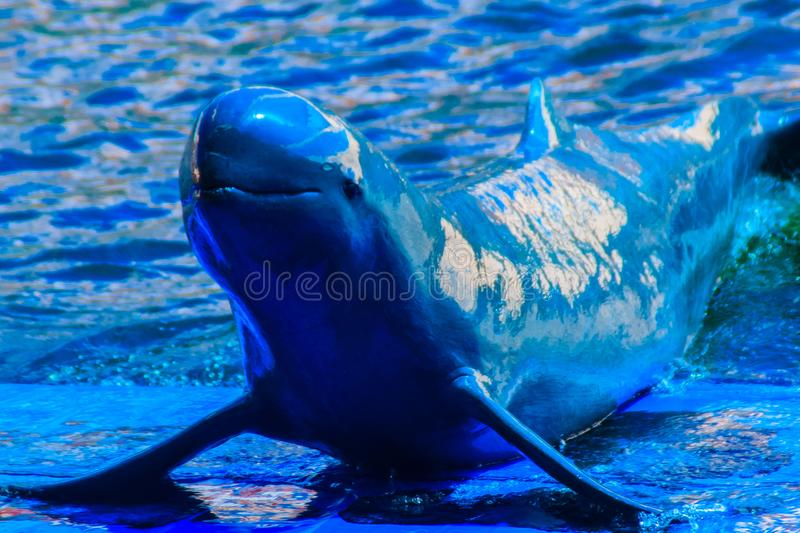 Cute Irrawaddy dolphin (Orcaella brevirostris) is floating in th. E water and jumping to dancing on the board in the dolphin shows royalty free stock images