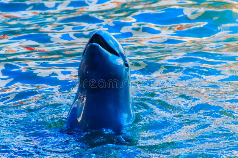 Cute Irrawaddy dolphin (Orcaella brevirostris) is floating in th. E water and jumping to dancing on the board in the dolphin shows stock image