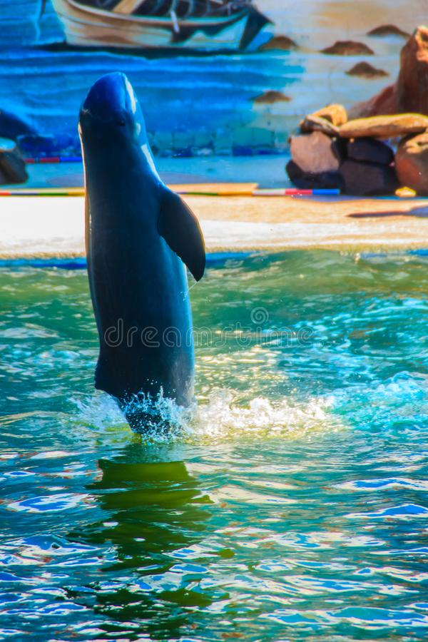 Cute Irrawaddy dolphin (Orcaella brevirostris) is floating in th. E water and jumping to the air in the dolphin shows royalty free stock photo