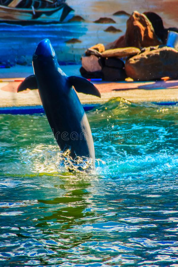 Cute Irrawaddy dolphin (Orcaella brevirostris) is floating in th. E water and jumping to the air in the dolphin shows stock photo