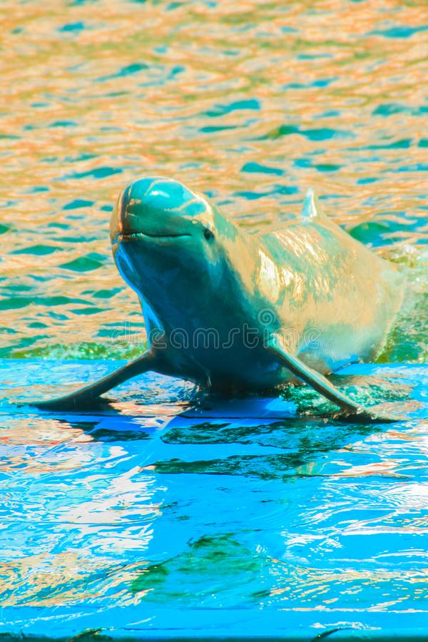 Cute Irrawaddy dolphin (Orcaella brevirostris) is floating in th. E water and jumping to dancing on the board in the dolphin shows royalty free stock photography