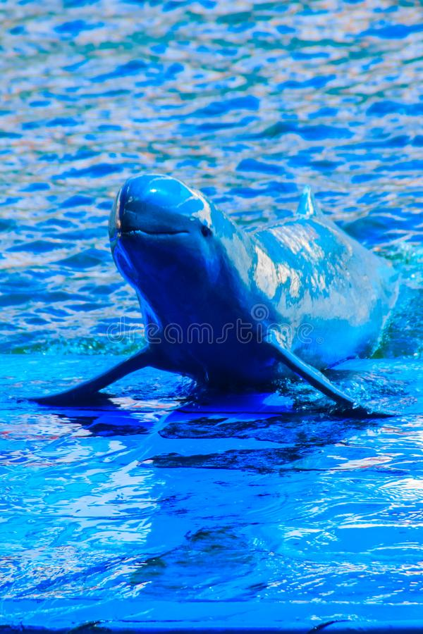 Cute Irrawaddy dolphin (Orcaella brevirostris) is floating in th. E water and jumping to dancing on the board in the dolphin shows royalty free stock photo