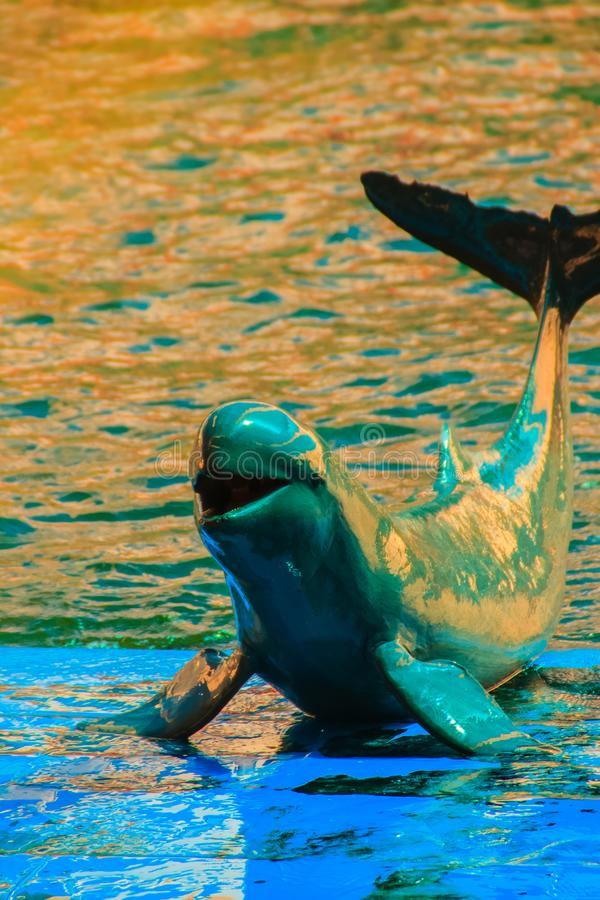 Cute Irrawaddy dolphin (Orcaella brevirostris) is floating in th. E water and jumping to dancing on the board in the dolphin shows stock images