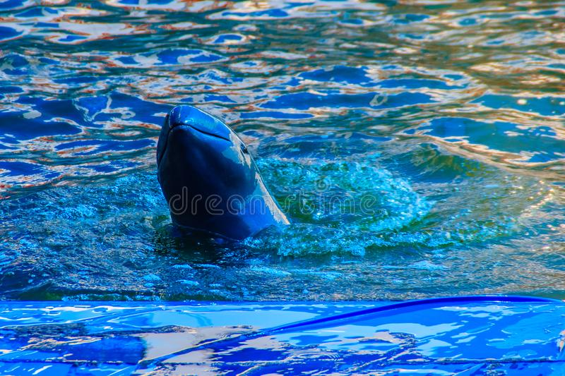 Cute Irrawaddy dolphin (Orcaella brevirostris) is floating in th. E water and jumping to dancing on the board in the dolphin shows royalty free stock photos
