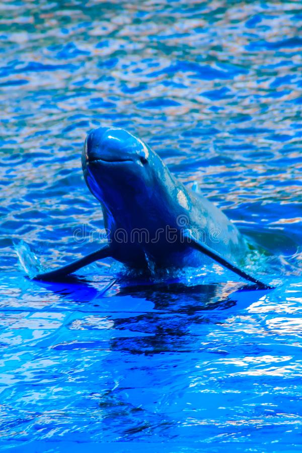 Cute Irrawaddy dolphin (Orcaella brevirostris) is floating in th. E water and jumping to dancing on the board in the dolphin shows royalty free stock image