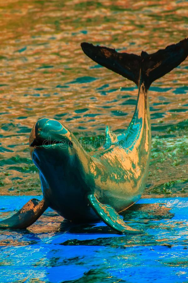 Cute Irrawaddy dolphin (Orcaella brevirostris) is floating in th. E water and jumping to dancing on the board in the dolphin shows stock photo