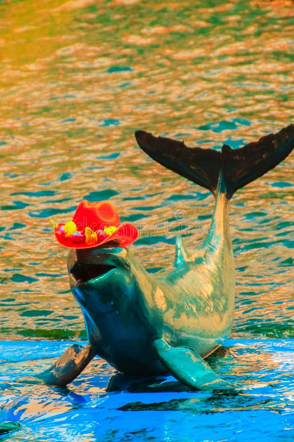 Cute Irrawaddy dolphin (Orcaella brevirostris) is wearing orange. Hat and dancing on the board in the dolphin shows royalty free stock images
