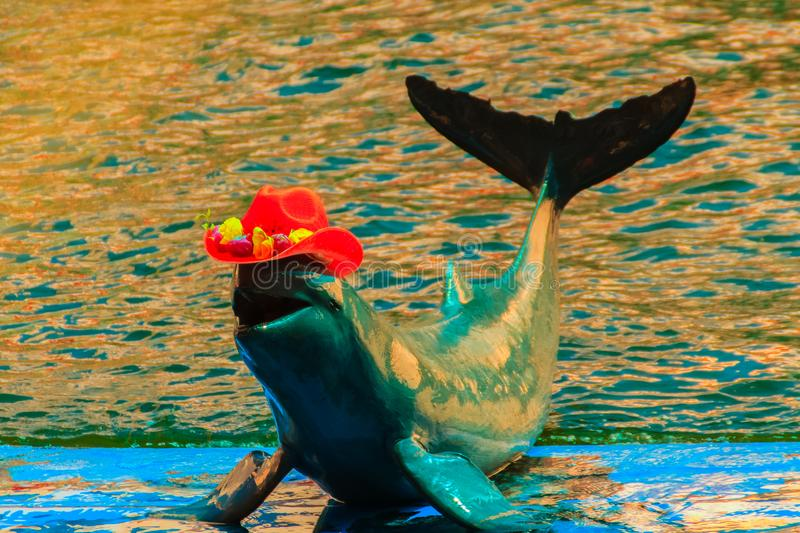 Cute Irrawaddy dolphin (Orcaella brevirostris) is wearing orange. Hat and dancing on the board in the dolphin shows stock images