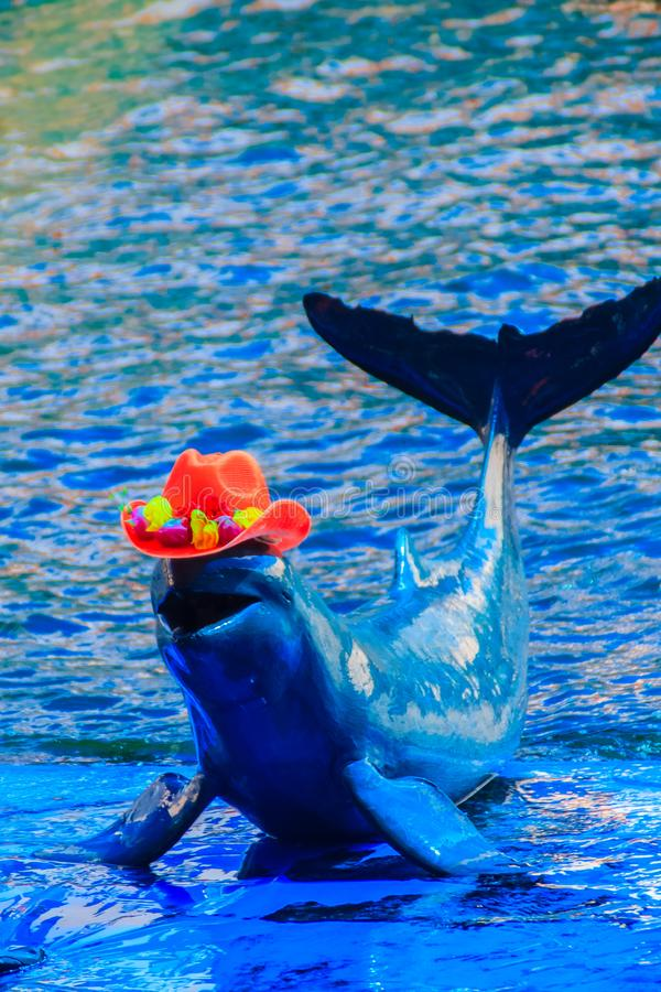 Cute Irrawaddy dolphin (Orcaella brevirostris) is wearing orange. Hat and dancing on the board in the dolphin shows royalty free stock photos