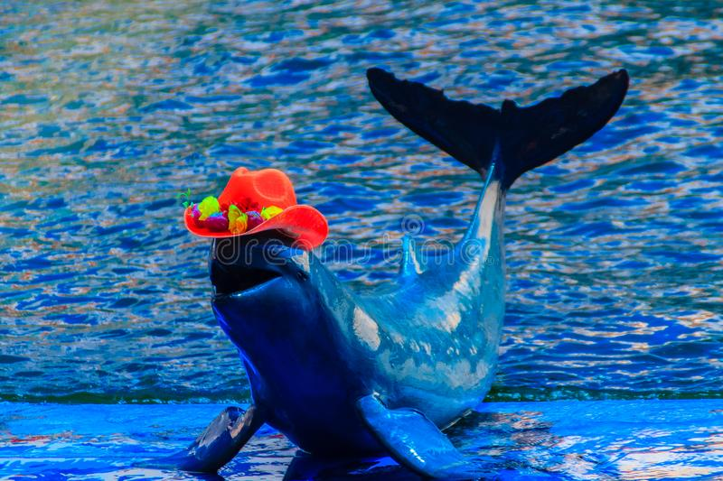 Cute Irrawaddy dolphin (Orcaella brevirostris) is wearing orange. Hat and dancing on the board in the dolphin shows royalty free stock image