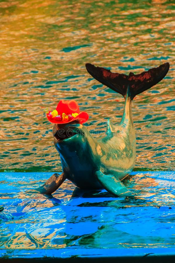 Cute Irrawaddy dolphin (Orcaella brevirostris) is wearing orange. Hat and dancing on the board in the dolphin shows stock photography