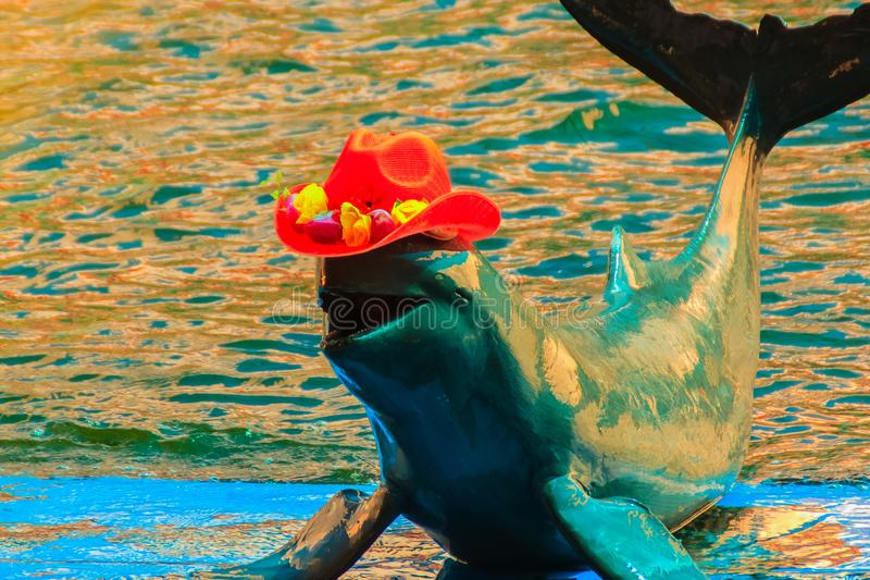 Cute Irrawaddy dolphin (Orcaella brevirostris) is wearing orange. Hat and dancing on the board in the dolphin shows stock photo