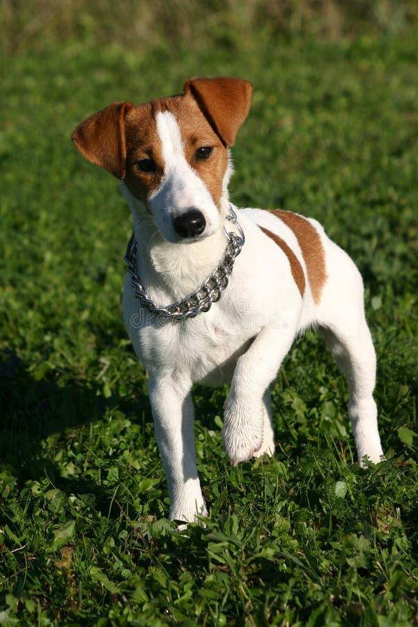 Cute jack russel terrier stock photo