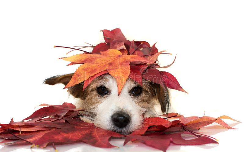 CUTE JACK RUSSELL DOG LYING DOWN PLAYING WITH RED COLORFUL AUTUMN LEAVES, LOOKING AT CAMERA. ISOLATED SHOT AGAINST WHITE stock photo