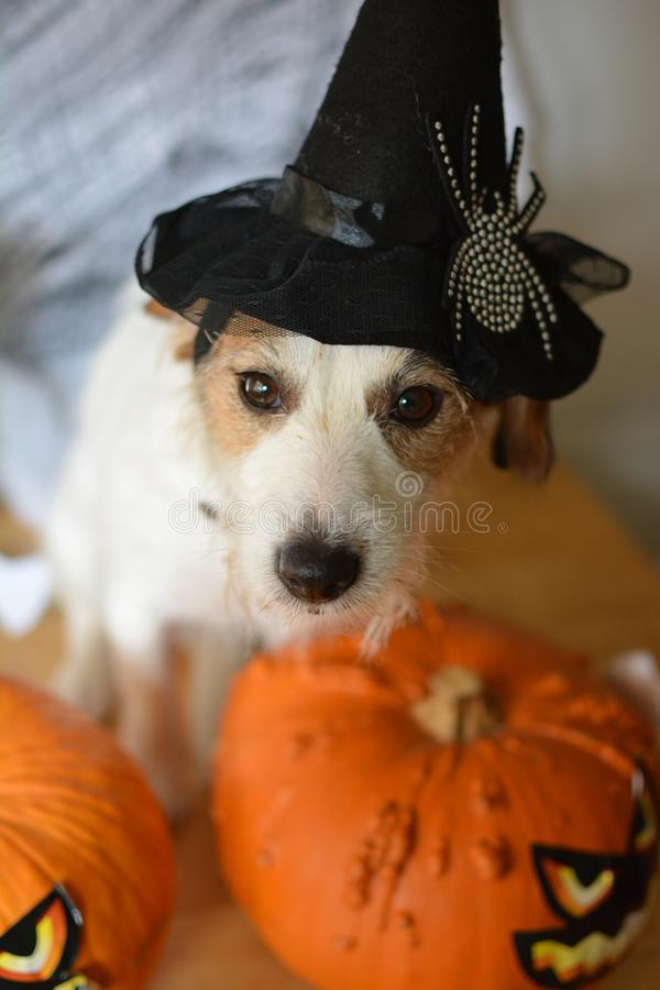 CUTE JACK RUSSELL DOG WITH WITCH HALLOWEEN HAT, SITTING NEXT TO. SOME PUMPKINS. HIGH ANGLE VIEW stock images
