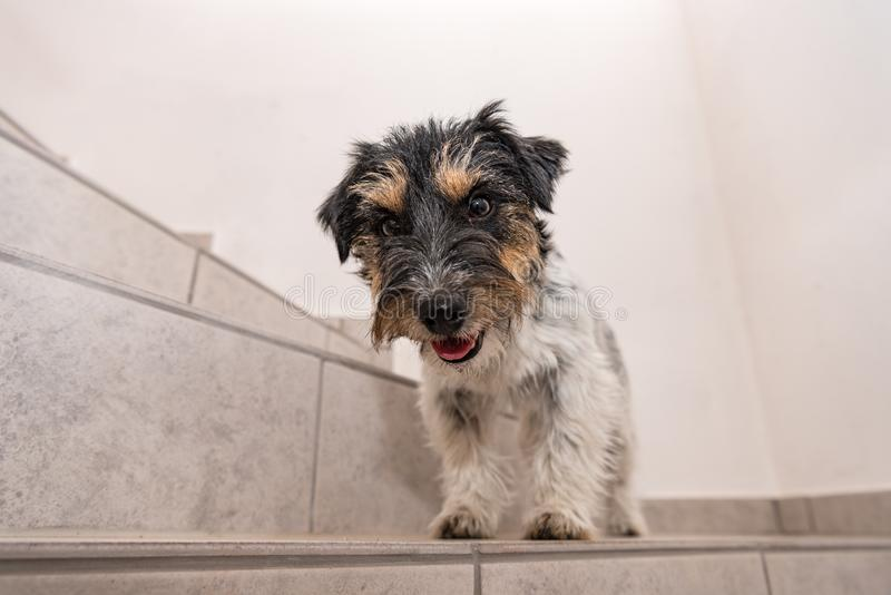 Little Jack Russell Terrier dog sits on a stairs and looks forwards. Cute Jack Russell Terrier dog sits on a stairs and looks forwards stock images