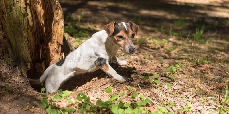 Cute Jack Russell Terrier hunting dog is looking out of a cave royalty free stock photos