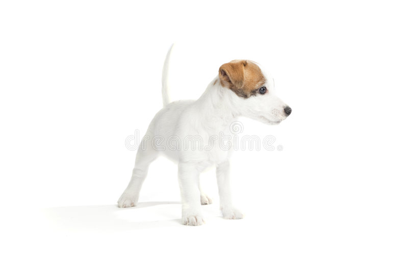 Cute jack russell terrier puppy stock photos