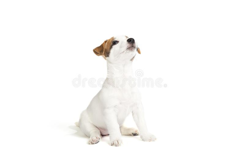 Cute jack russell terrier puppy stock photo