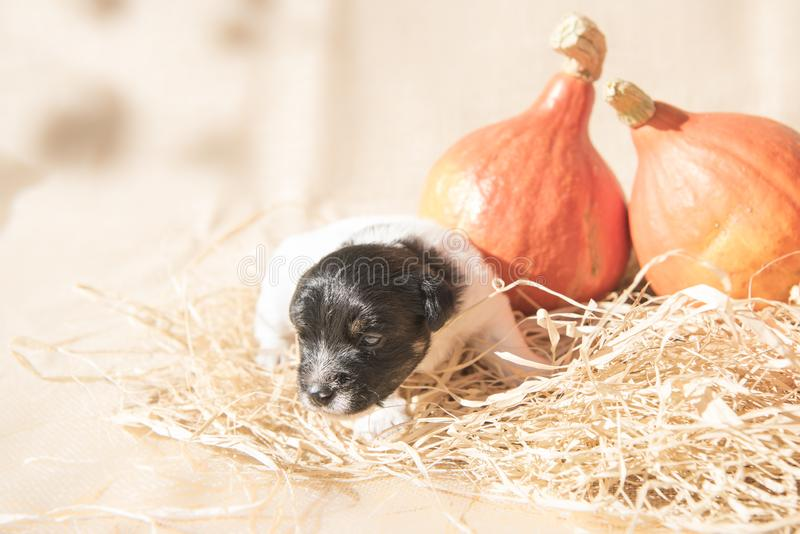 Cute Jack Russell Terrier puppy dog with pumpkin - preparation for Halloween royalty free stock image