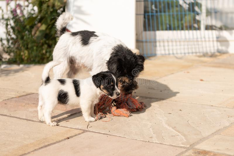 Jack Russell Terrier puppy is playing with his mother. Dog 7,5 weeks old. Cute Jack Russell Terrier puppy is playing with his mother. Dog 7,5 weeks old royalty free stock photos
