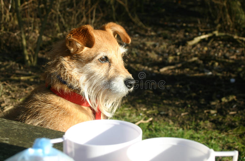 Cute dog on bench. Cute Jack Russell / Yorkshire terrier cross dog on picnic bench with two cups from a flask next to it. Waiting for lunch? Trees as background stock photography