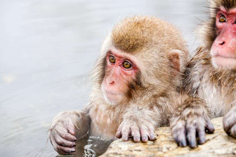 Cute Japanese macaque sitting in a hot spring. Snow monkey Macaca fuscata from Jigokudani Monkey Park in Japan, Nagano. Prefecture stock images