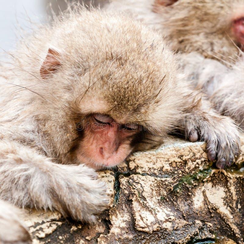 Cute Japanese macaque sleeping in a hot spring. Snow monkey Macaca fuscata from Jigokudani Monkey Park in Japan. Cute Japanese macaque sleeping in a hot spring stock photos