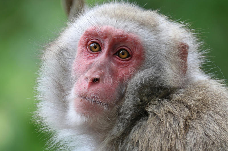 Cute Japanese monkey. With a green background stock photo