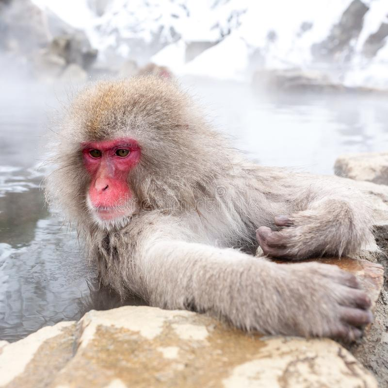 Cute japanese snow monkey sitting in a hot spring. Nagano Prefecture, Japan royalty free stock photo