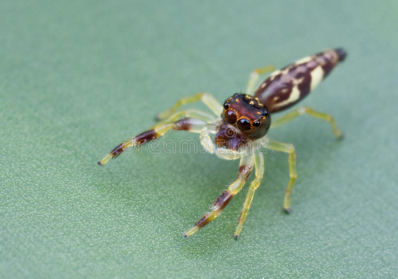 Download Cute jumping spider stock photo. Image of green, flora - 19832218