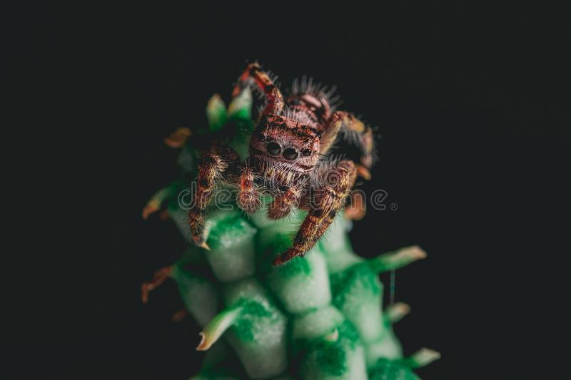 Cute Jumping Spider on a Houseplant. A putnam jumping spider Phidippus putnami resting on a euphorbia houseplant stock photography
