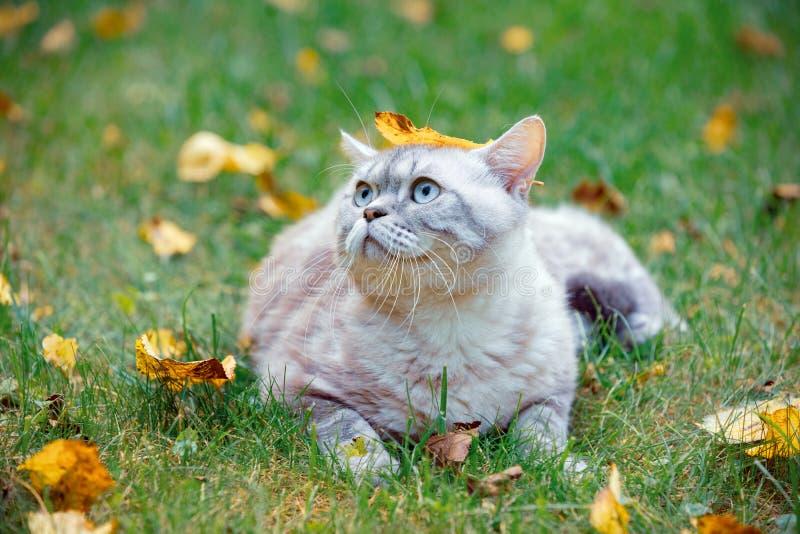 Cute Katze Mit Einem Gefallenen Blatt Auf Dem Kopf Liegt
