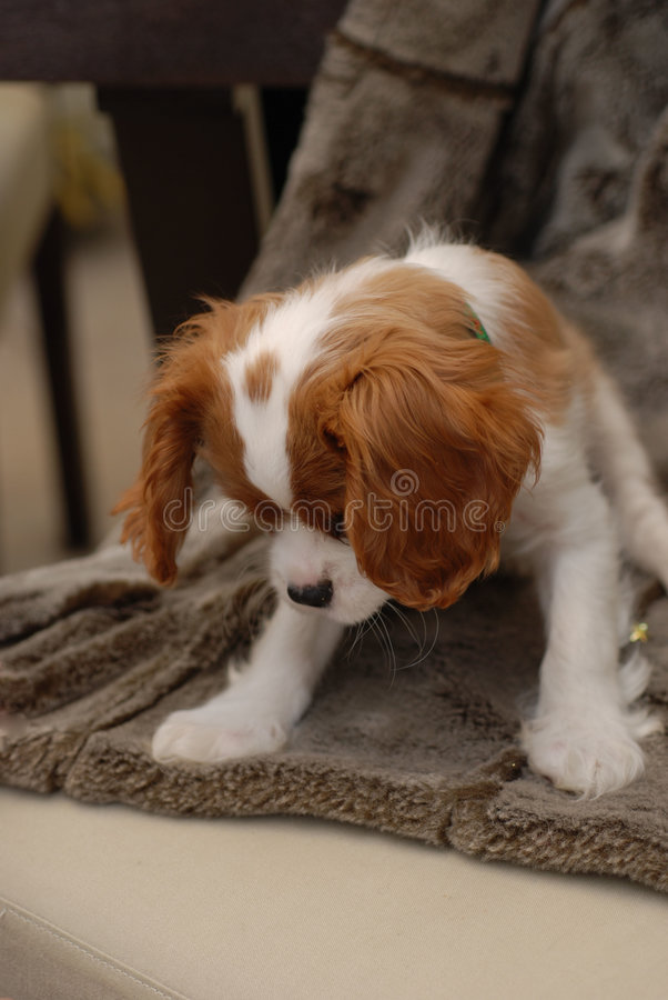 Cute King Charles Spaniel. Looking down from a chair stock photos