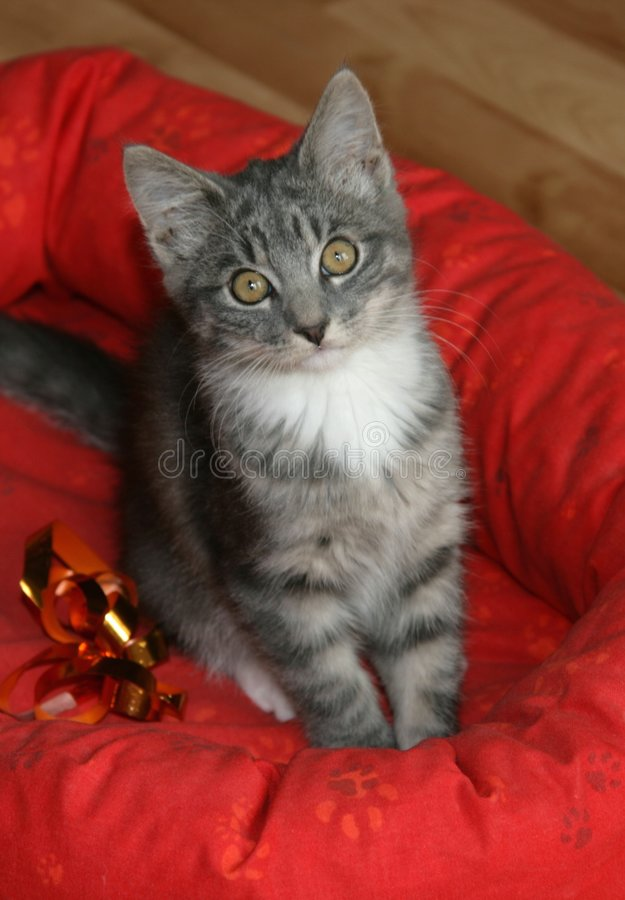 Cute kitten. Cute grey kitten in a red cat's bed stock photography