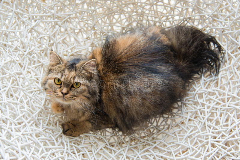 Cute kitten. Close up of cute persian cat lying on the bed royalty free stock photography