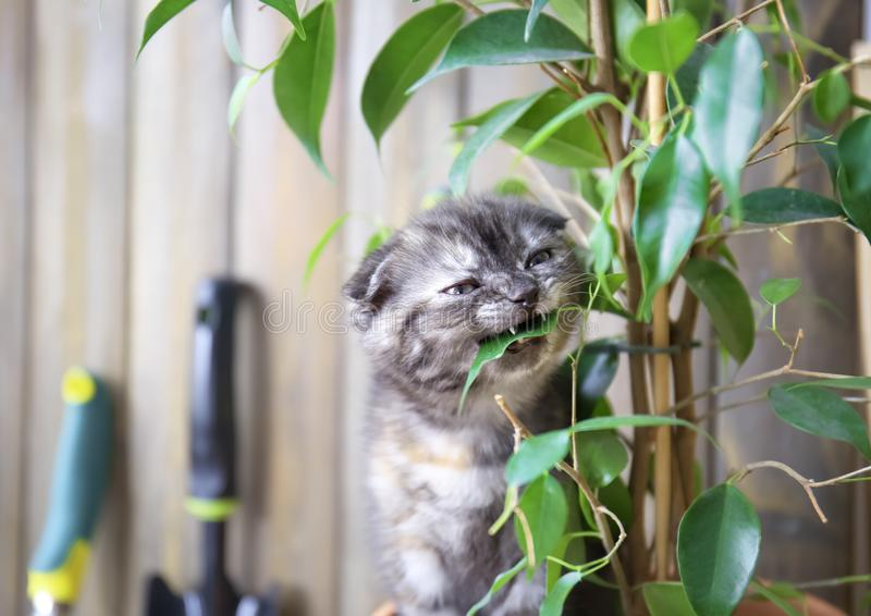 Cute kitten eating green plant at home stock photos