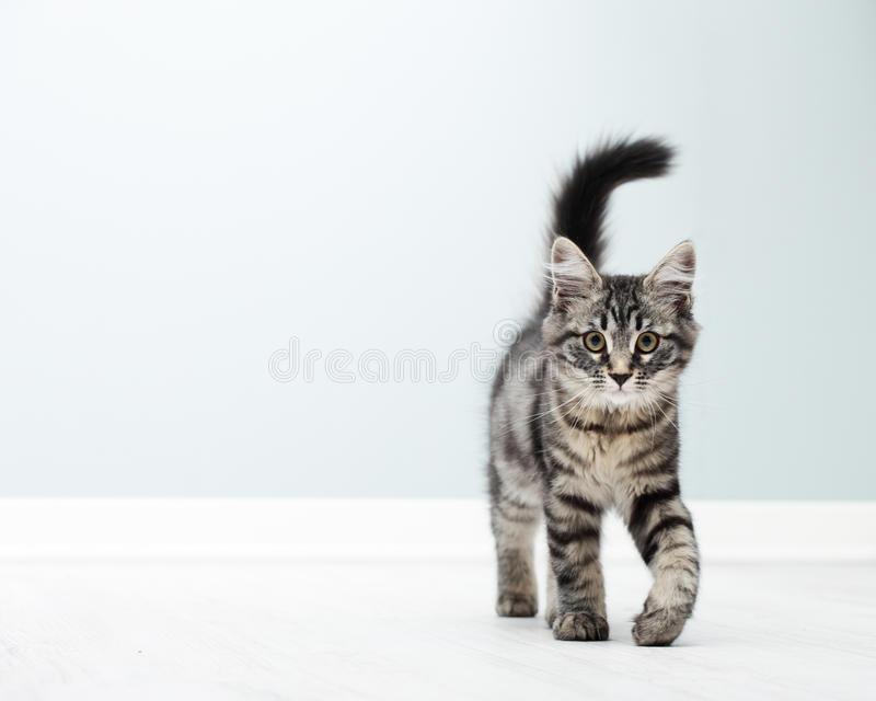 Download Cute kitten at home stock image. Image of domestic, beautiful - 33321465