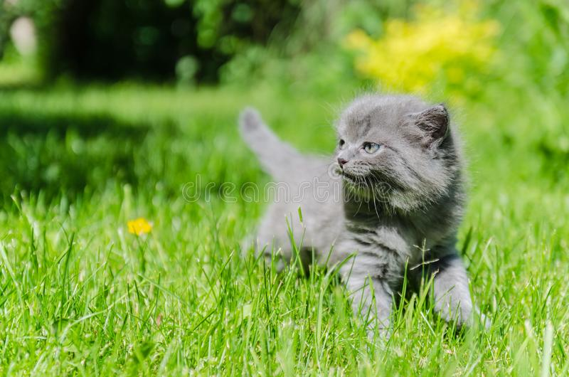 A cute kitten learns to take the first independent steps. In the open air royalty free stock photo