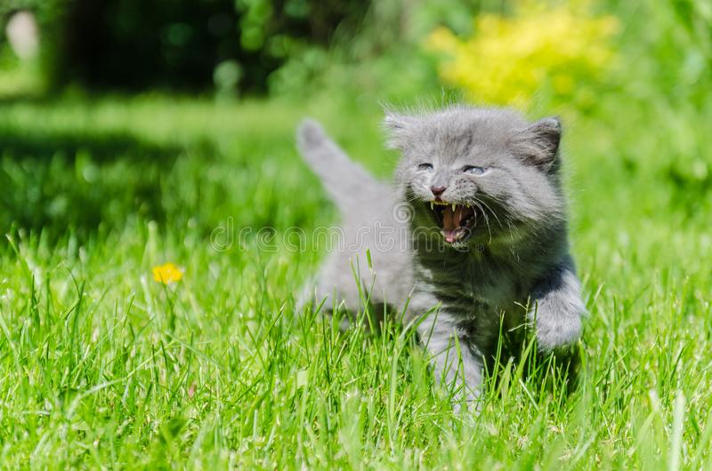 A cute kitten learns to take the first independent steps. In the open air royalty free stock image
