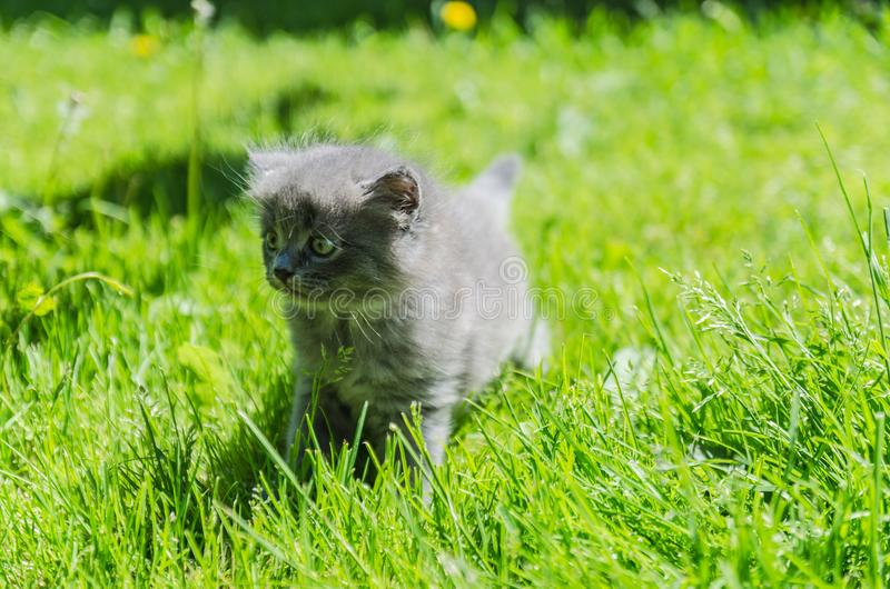 A cute kitten learns to take the first independent steps. In the open air stock photography