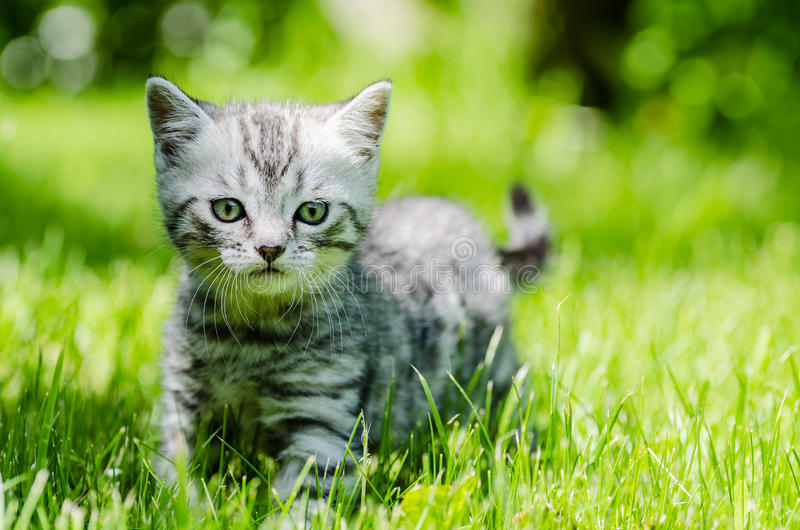 A cute kitten learns to take the first independent steps stock image