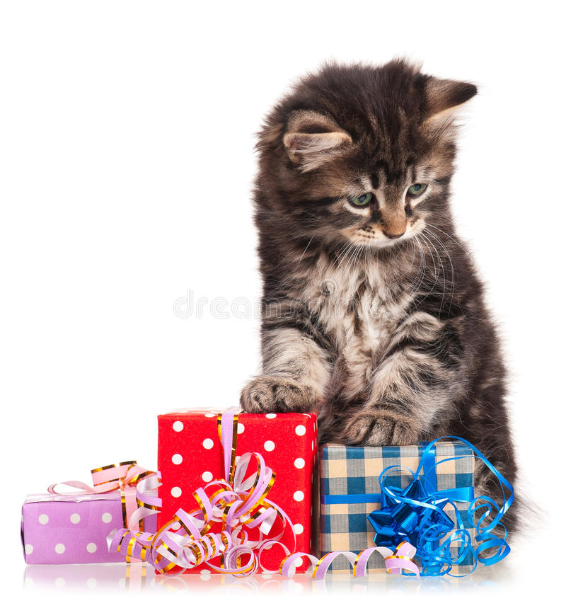 Cute kitten. Cute little siberian kitten with gift-box isolated on white background royalty free stock images