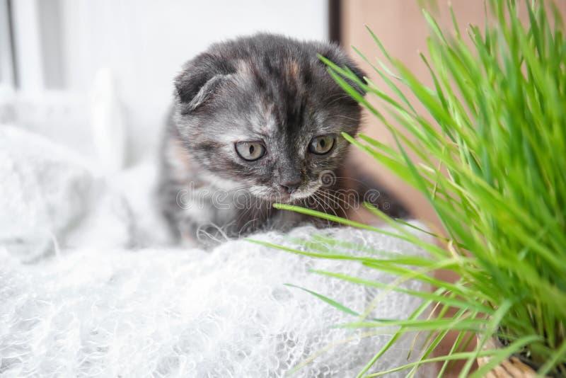 Cute kitten near green grass on windowsill at home royalty free stock image