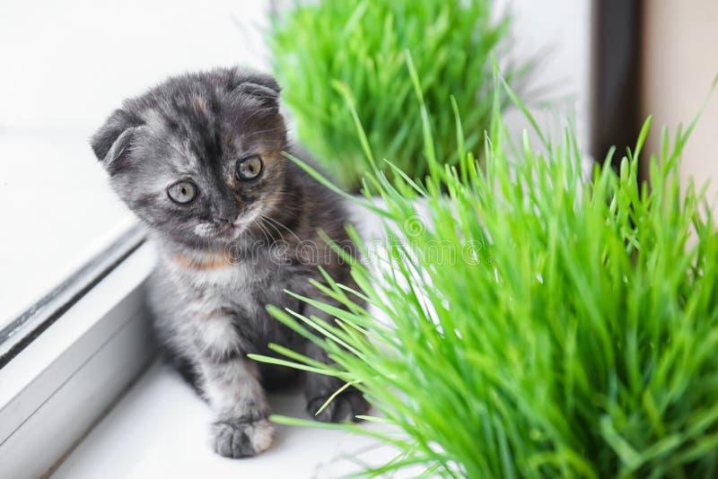 Cute kitten near green grass on windowsill at home royalty free stock photography