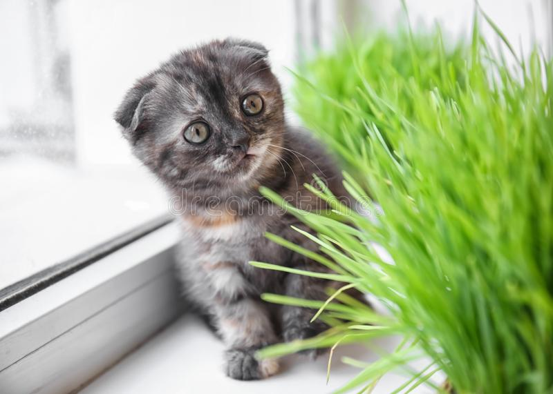 Cute kitten near green grass on windowsill at home royalty free stock images
