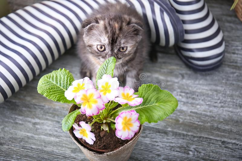 Cute kitten near pot with beautiful plant on floor at home stock photo