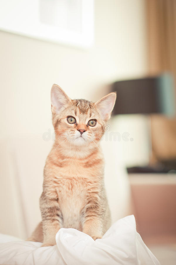 Free Cute Kitten On Cushion Royalty Free Stock Photography - 21498437