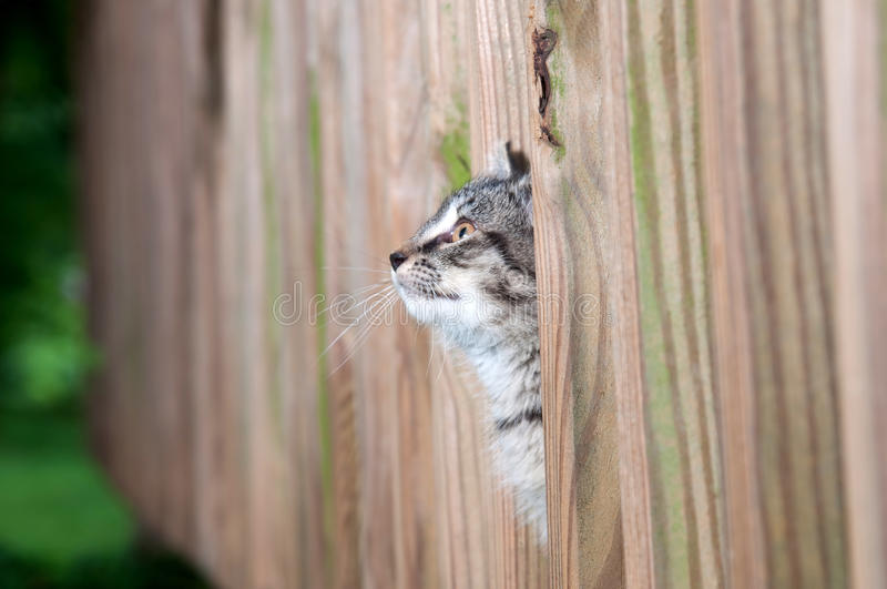 Cute kitten peeking through wooden fence stock images